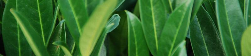 laurierhaag-planten