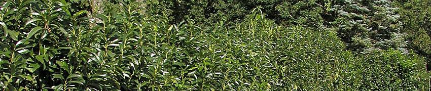 Laurierkers en andere wintergroene haagplanten online kopen